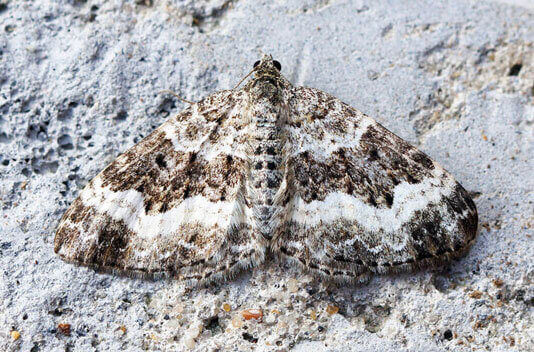 Carpet Moth - The Pest Doctor - Pest Control