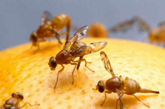 Fruit Flies - The Pest Doctor - Pest Control