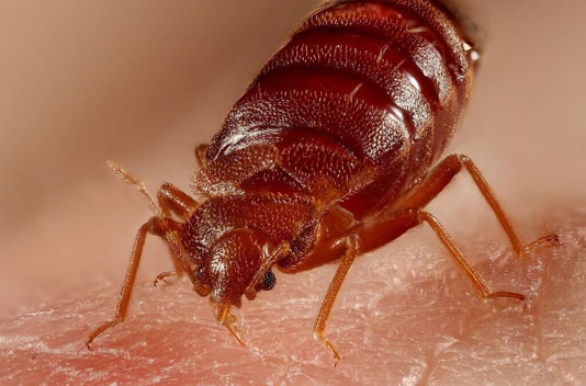 Bed Bugs - The Pest Doctor - Pest Control