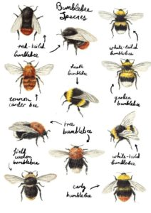 Bumble Bee Guide - The Pest Doctor