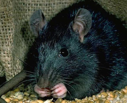 Black Rats - The Pest Doctor