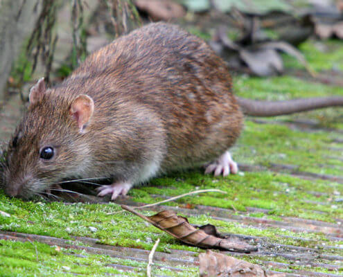 Brown Rats - The Pest Doctor