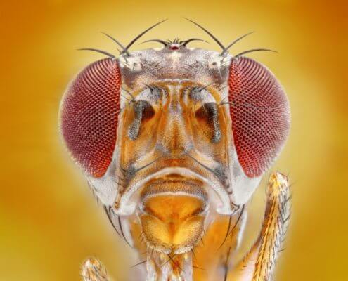Fruit Fly - The Pest Doctor