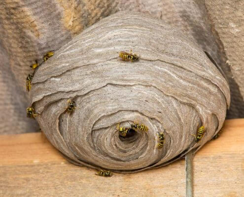 Wasp Nest - The Pest Doctor