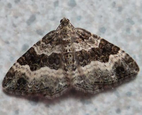 Carpet Moth - The Pest Doctor