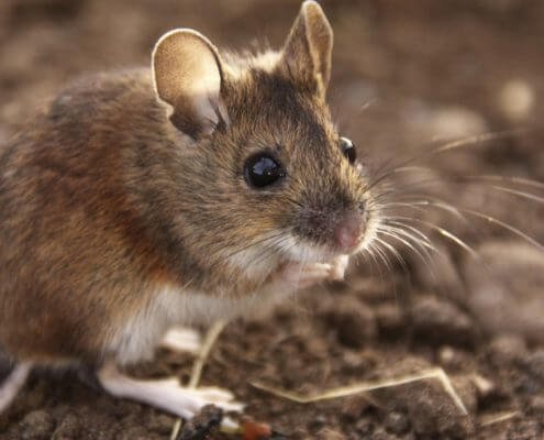 Field Mouse - The Pest Doctor