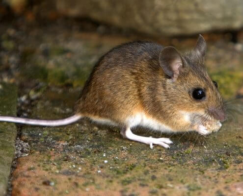 House Mouse - The Pest Doctor