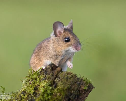 Wood Mouse - The Pest Doctor